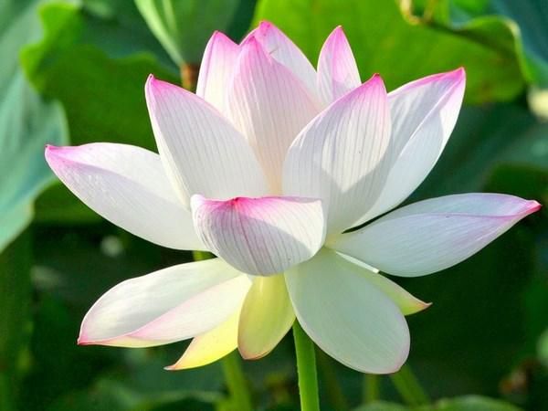 tranh vẽ hoa sen